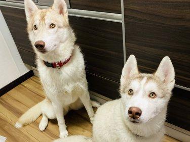【将来犬を飼う方へ】シベリアンハスキーを飼う理想と現実