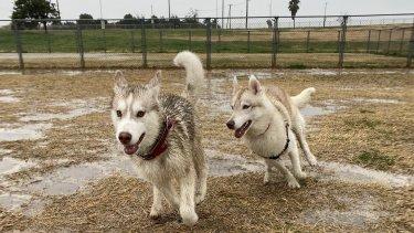 シベリアンハスキー雨の日の散歩はどうする?【全力でドッグランです】
