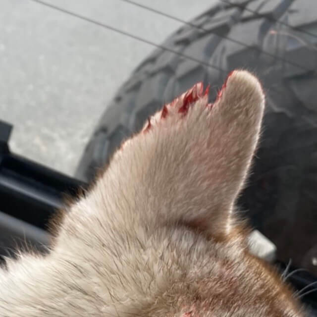 犬に噛まれたハスキー