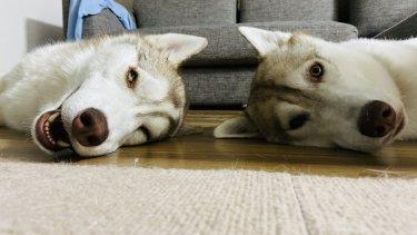 シベリアンハスキーを飼うのは大変なのか?2匹飼いの僕が喋る